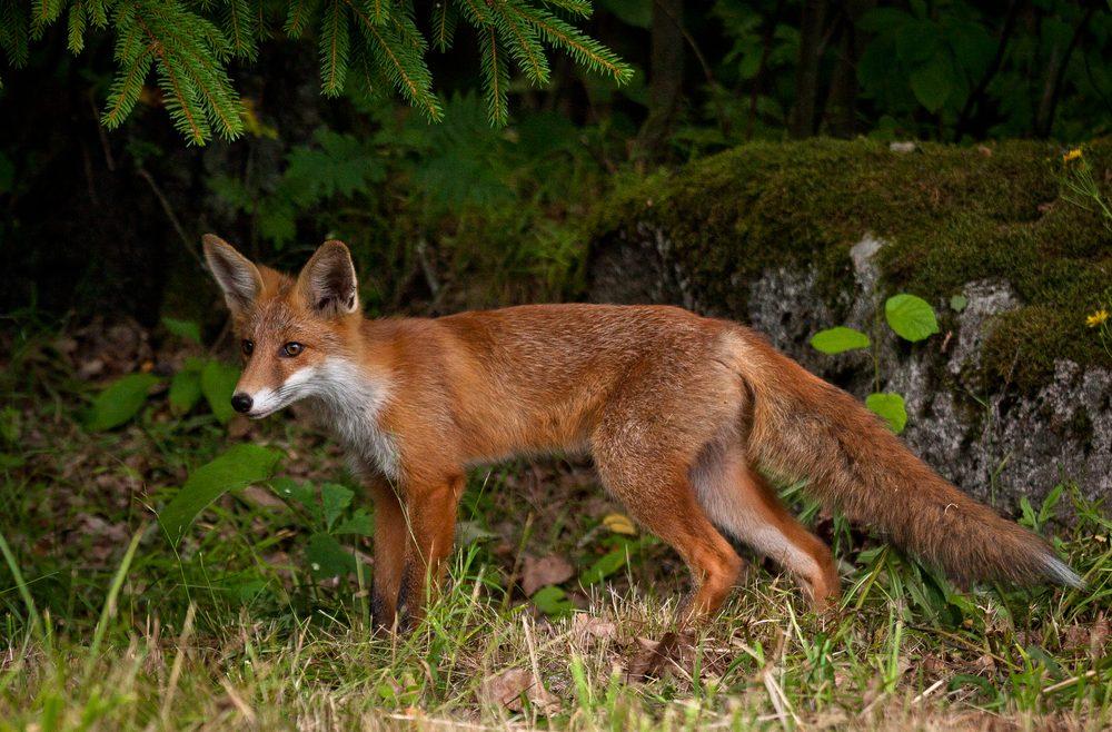 Incroyable Pin It Wildtiere Im Garten   Fuchs Im Garten   Franks Kleiner Garten