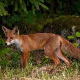 Wildtiere im Garten - Fuchs im Garten - Franks kleiner Garten