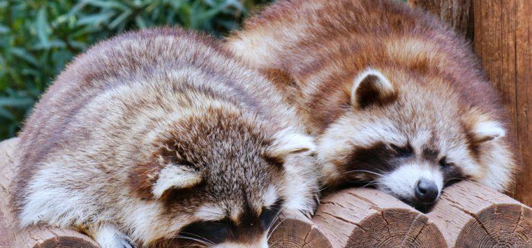 Wildtiere im Garten - Waschbären - Franks kleiner Garten