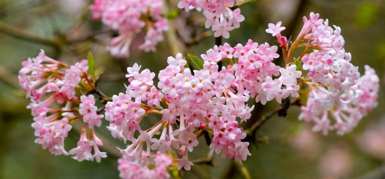 Winterschneeball - Blüte - Franks kleiner Garten