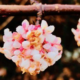 Winterschneeball - Blüten - Franks kleiner Garten