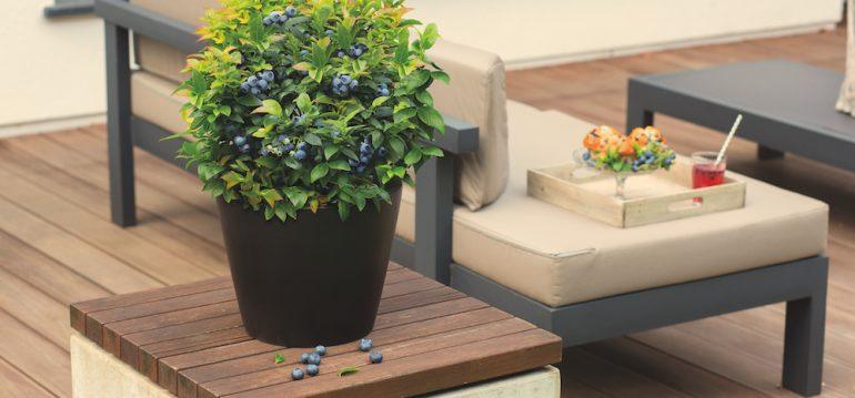 Dachterrasse - BrazelBerry - JellyBean - Franks kleiner Garten