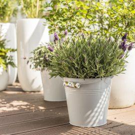 Dachterrasse - Lavendel - Franks kleiner Garten
