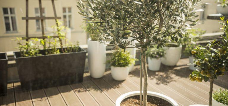 Dachterrasse - Olivenbaum - Franks kleiner Garten