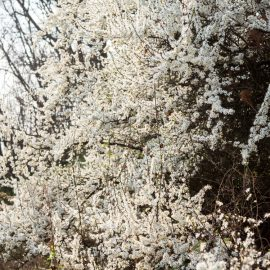 Frühblühende Bäume und Sträucher - Schlehe - Franks kleiner Gartenjpg