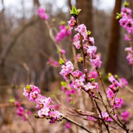 Frühblühende Bäume und Sträucher - Seidelbast - Franks kleiner Garten