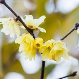 Frühblühende Bäume und Sträucher - Winterblüte - Franks kleiner Garten