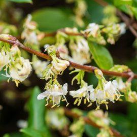 Frühblühende Bäume und Sträucher - Wintzer-Frühblühende Heckenkirsche - Franks kleiner Garten