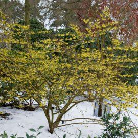 Frühblühende Bäume und Sträucher - Zaubernuss - Franks kleiner Garten
