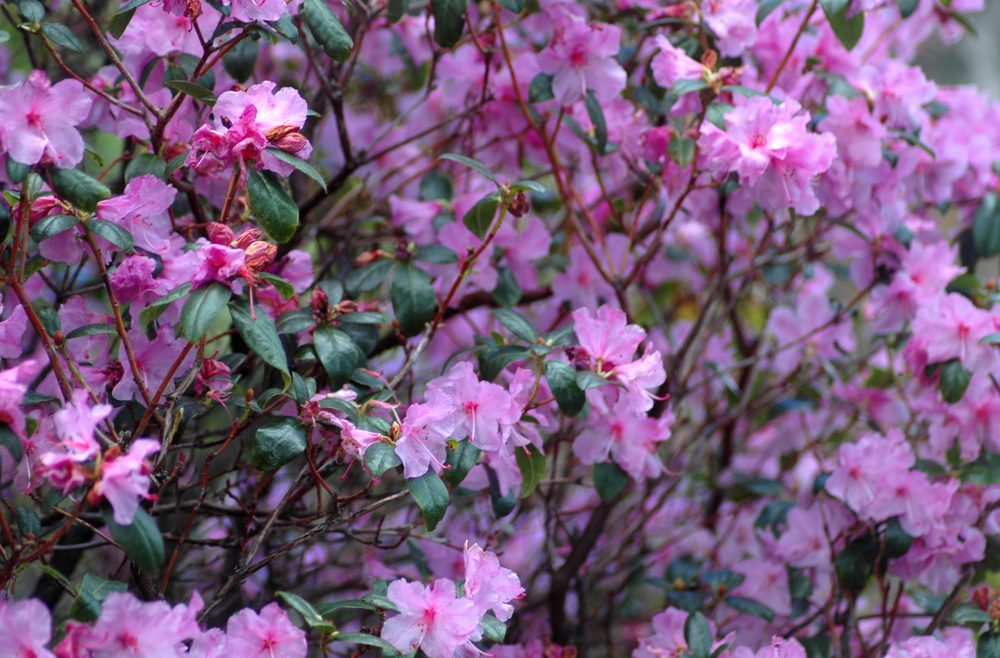 Frühblühernde Bäume Und Sträucher Rhododendron Praecox