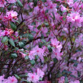 Frühblühernde Bäume und Sträucher - Rhododendron Praecox - Vorfrühlings-Alpenrose Praecox - Franks kleiner Garten