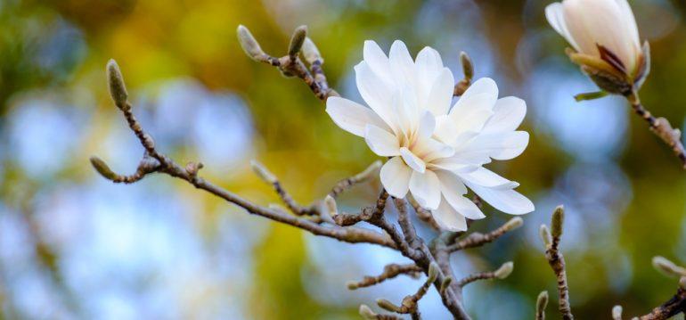 Frühblühende Bäume und Sträuchder - Magnolie Stellata - Franks kleiner Garten