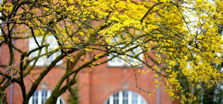 Frühblühende Bäume und Sträucher - Kornelkirsche - Franks kleiner Garten