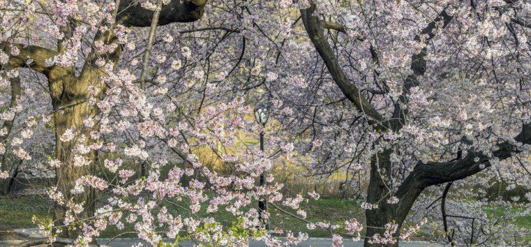 Frühblühende Bäume und Sträucher - Winter-Kirsche - Franks kleiner Garten