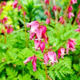 Längerblühende Stauden - Zwergherzblume - Franks kleiner Garten