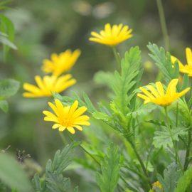 Langblühende Stauden - Coreopsis - Franks kleiner Garten