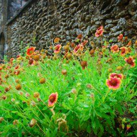 Langblühende Stauden - Gaillardia - Franks kleiner Garten