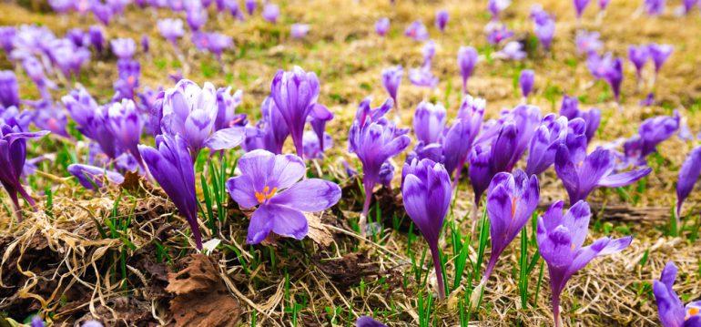 Termine - Februar - Krokus - Franks kleiner Garten