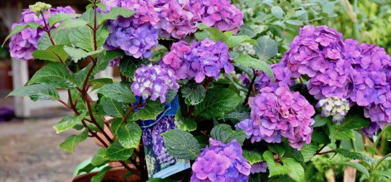 Hortensie - Endless Summer - Terrasse - Franks kleiner Garten