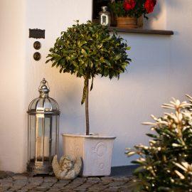 Kübelpflanzen - Lorbeerbaum - Franks kleiner Garten