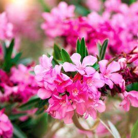 Kübelpflanzen - Oleander - Franks kleiner Garten