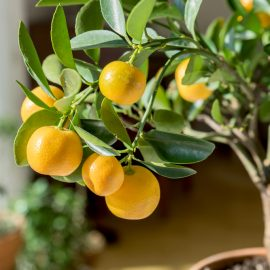 Kübelpflanzen - Orangenbaum - Franks kleiner Garten