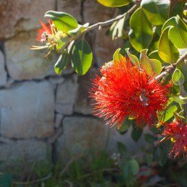 Kübelpflanzen - Zylinderputzer - Franks kleiner Garten