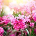 Kübepflanzen - Oleander - Franks kleiner Garten