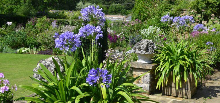 Kübelpflanzen - Agapanthus - Franks kleiner Garten