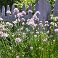 Kräuterbeet im Schatten – Schnittlauch - Franks kleiner Garten
