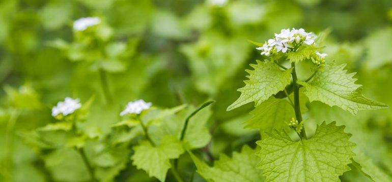 Kräuter im Schatten - Knoblauchsrauke - Franks kleiner Garten