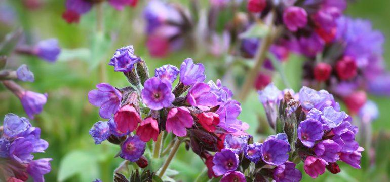Kräuter im Schatten - Beinwell - Franks kleiner Garten