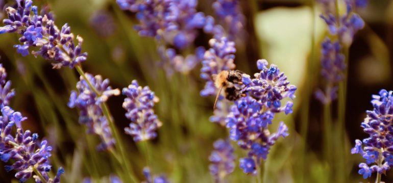 Lavendel - Biene - Franks kleiner Garten