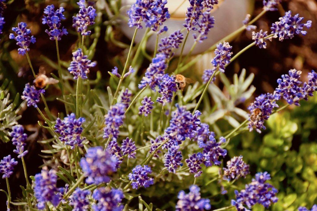 vorfreude auf den sommer lavendel ziehen pflanzen und pflegen willkommen in franks kleinem. Black Bedroom Furniture Sets. Home Design Ideas