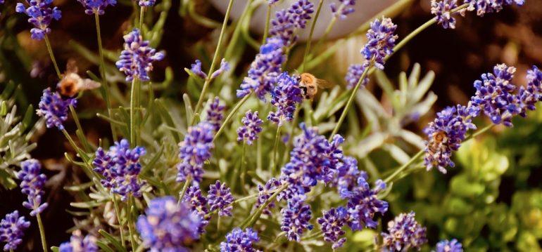 Lavendel - in meinem Garten – Franks kleiner Garte