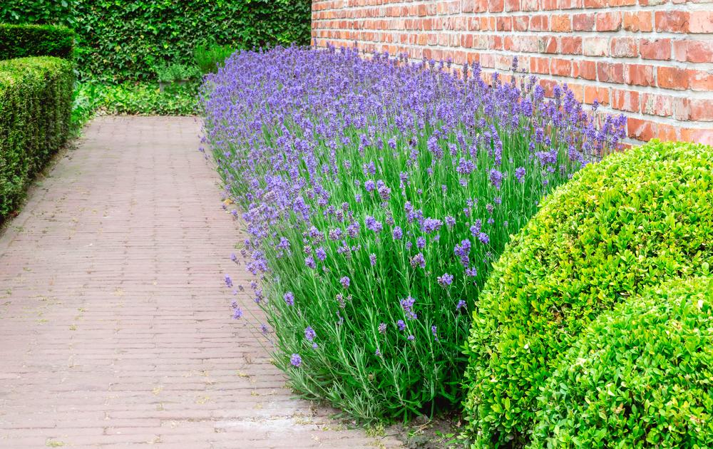 Lavendel - Haus - Franks kleiner Garten