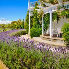 Lavendel - Sommer - Urlaub - Franks kleiner Garten