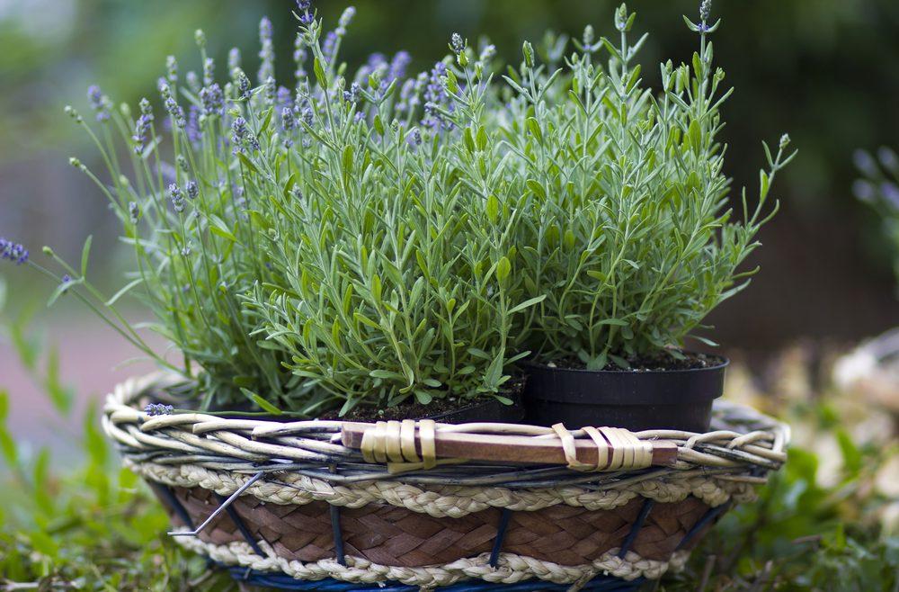 Lavendel - Topf - Franks kleinr Garten