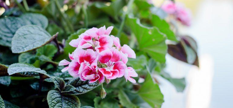 März - Pelargonium - Franks kleiner Garten