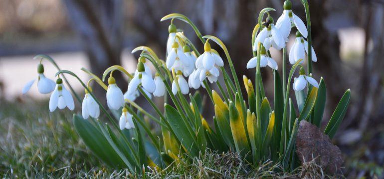 März - Schneeglöckchen - Franks kleiner Garten