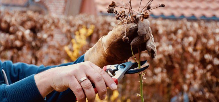 Herbstputz - Rose - Rosenschnitt - Franks kleiner Garten