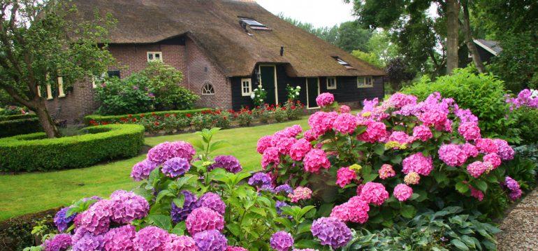 Hortensien - Richtig Düngen - Sommer - Blütenpracht - Auffahrt - Franks kleiner Garten