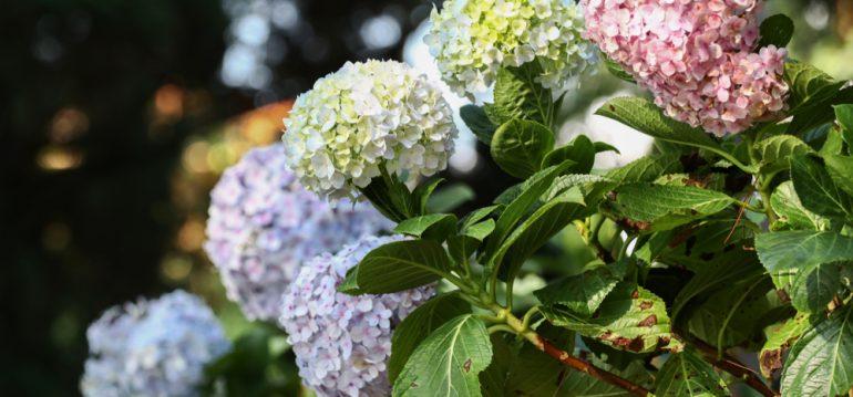 Hortensien - richtig Düngen - Blütenpracht - Gartentraum - Franks kleiner Garten