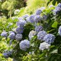 Hortensien schneiden - Bauernhortensien - Franks kleiner Garten
