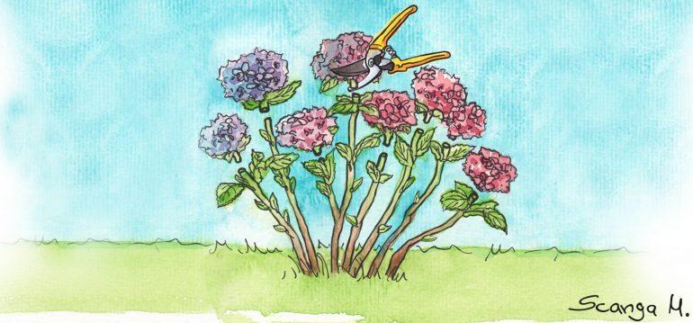 Hortensien schneiden - Schnittgruppe 1 - Illustration - Franks kleiner Garten