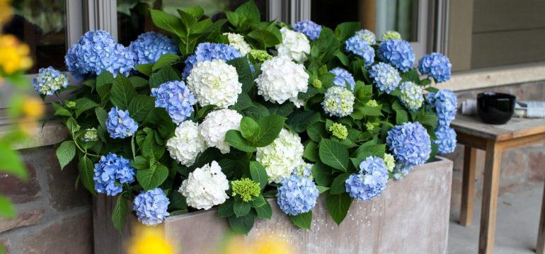 Hortensien schneiden - Endless Summer - Franks kleiner Garten