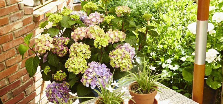 Hortensien schneiden - Endless Summer - Terrasse - Franks kleiner Garten