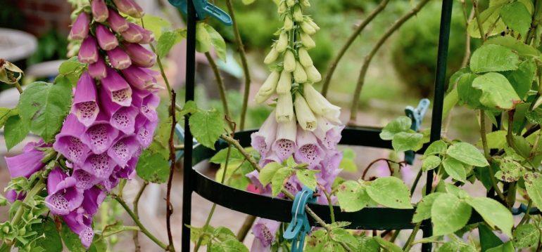 Natürlicher Charme - Fingerhut - Frühling - Mai - Franks kleiner Garten