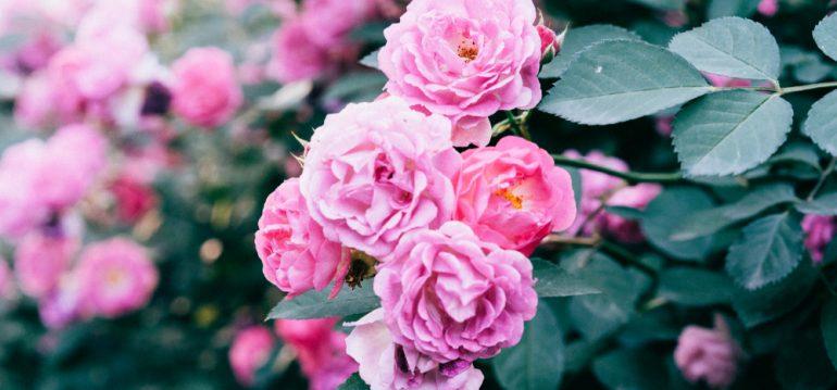 Mai - Dinge - Rosen - Franks kleiner Garten