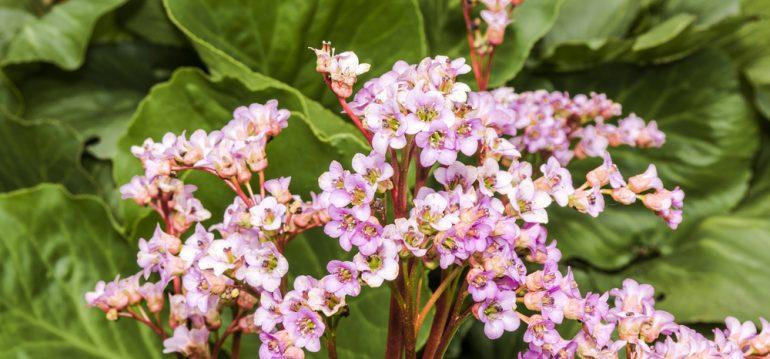 Mai - Dinge - Bergenie - Franks kleiner Garten